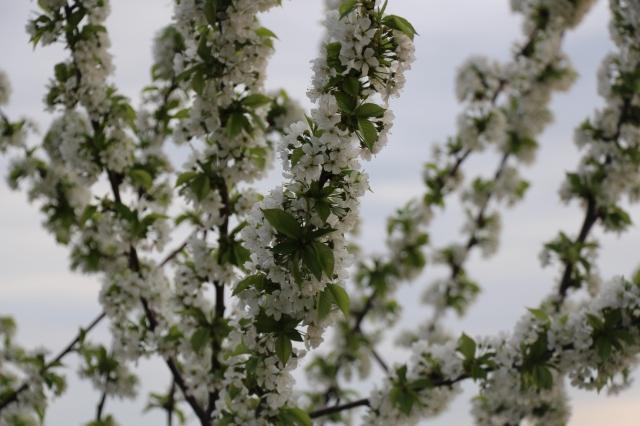 Beautiful flowering bush, discovered as we walked along vineyards overlooking both Heidelberg and Mannheim.